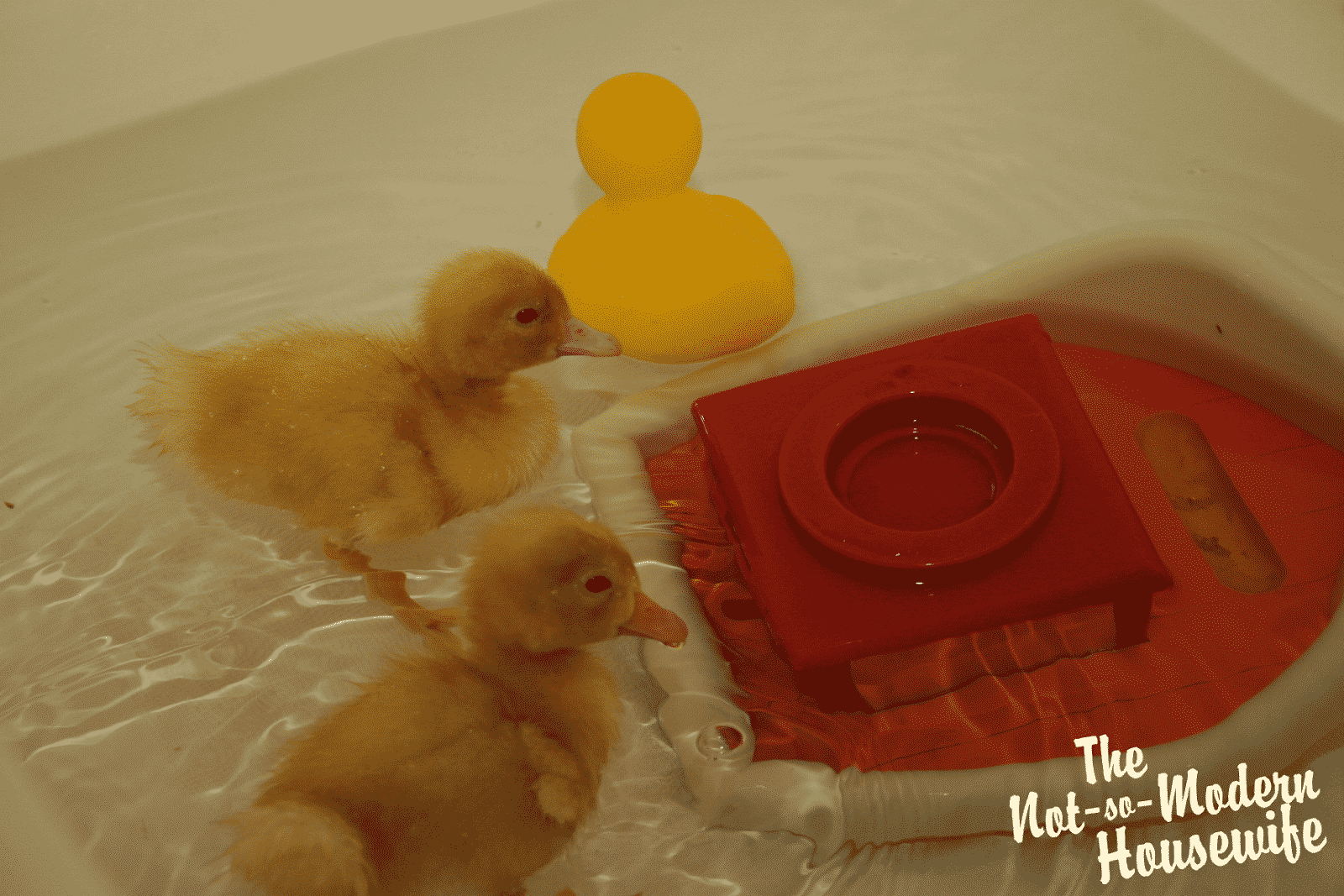 Our New Ducklings - The Not So Modern Housewife