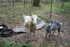Bella and Rusty goats