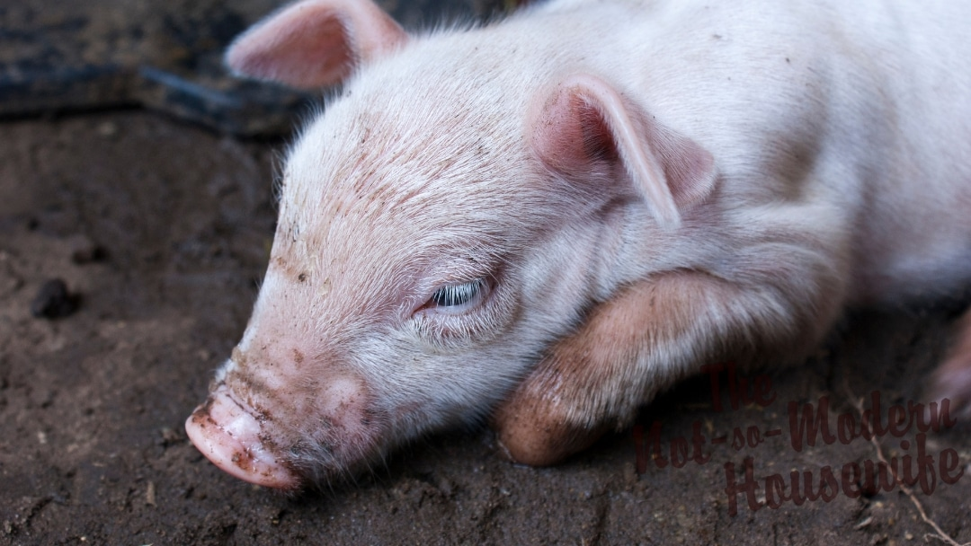 How to Care for a Sick Piglet