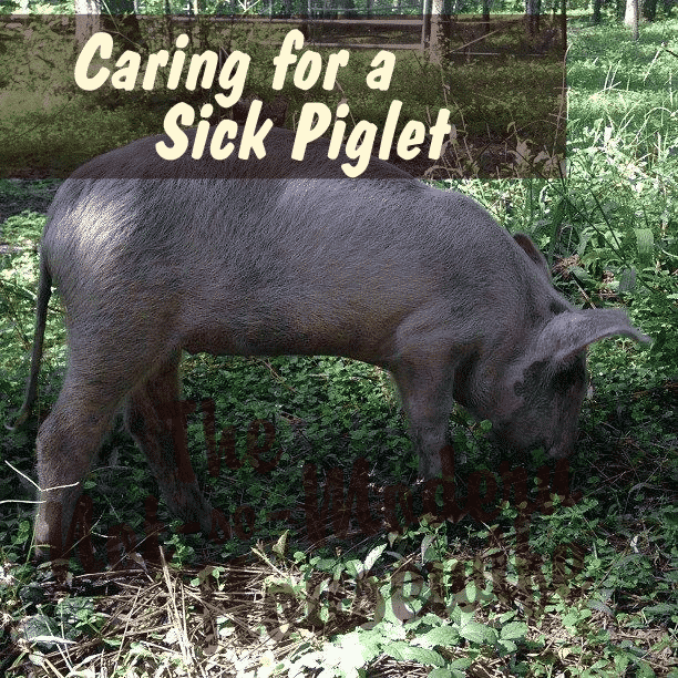 Caring for a Sick Piglet