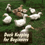 Duck Keeping for Beginners
