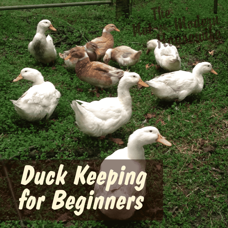 Duck Keeping for Beginners - The Not So Modern Housewife