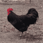 Australorp and Barnevelder hatching eggs now available for sale