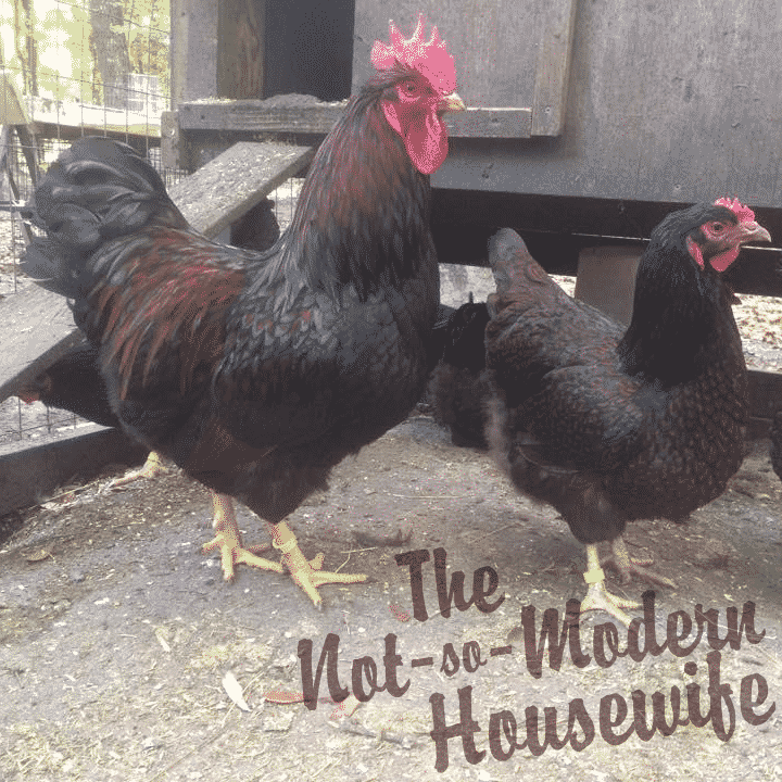 Barnevelder Hatching Eggs