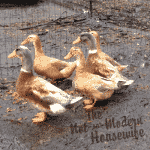 We welcome our new flock of Saxony ducks to the farm