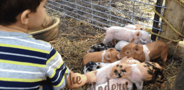 Our New Piglets