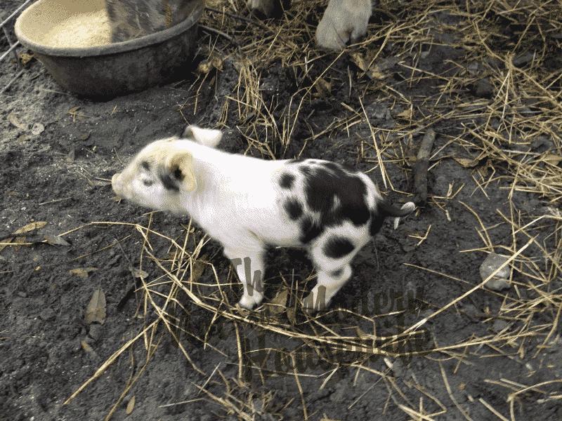 Piglets4