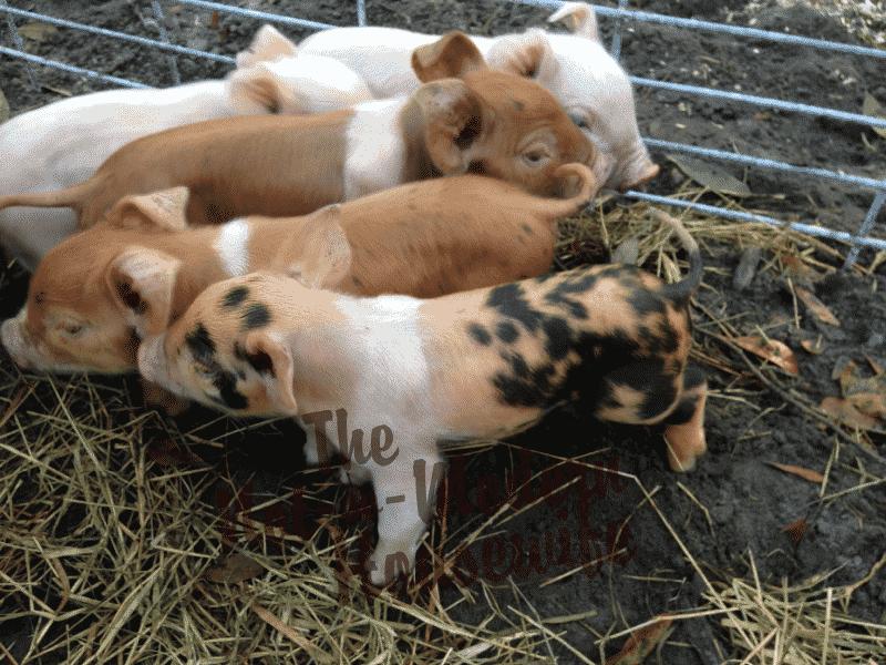 Piglets5