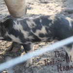 Surgery and Our Miracle Piglet