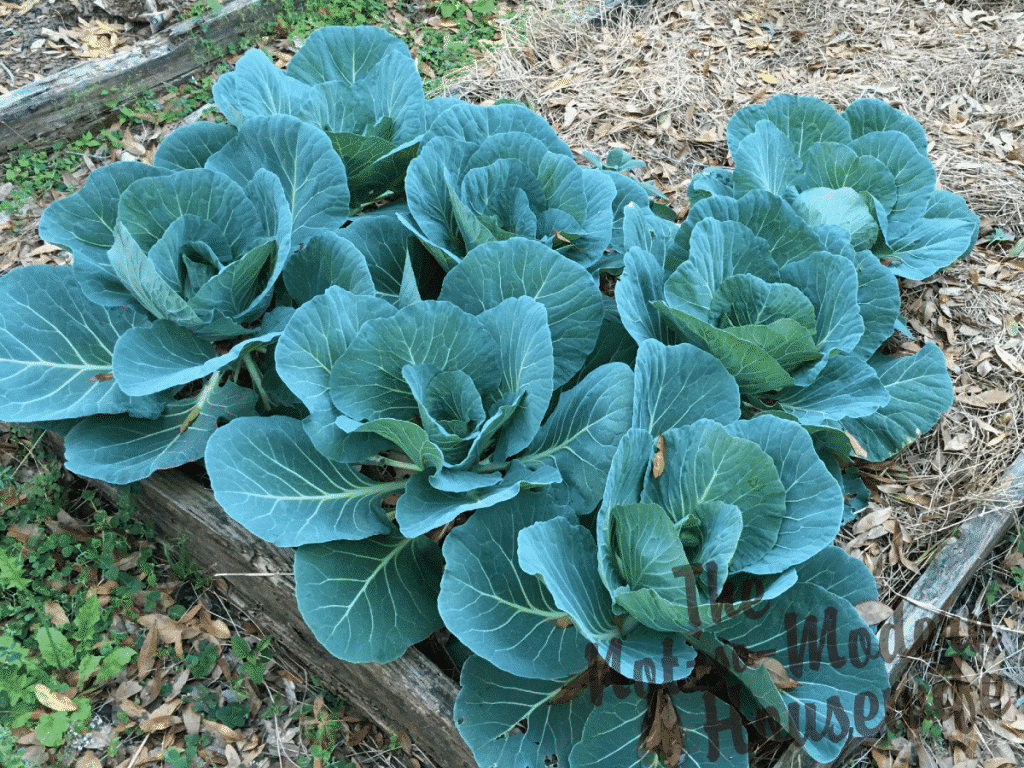 Cabbage bed