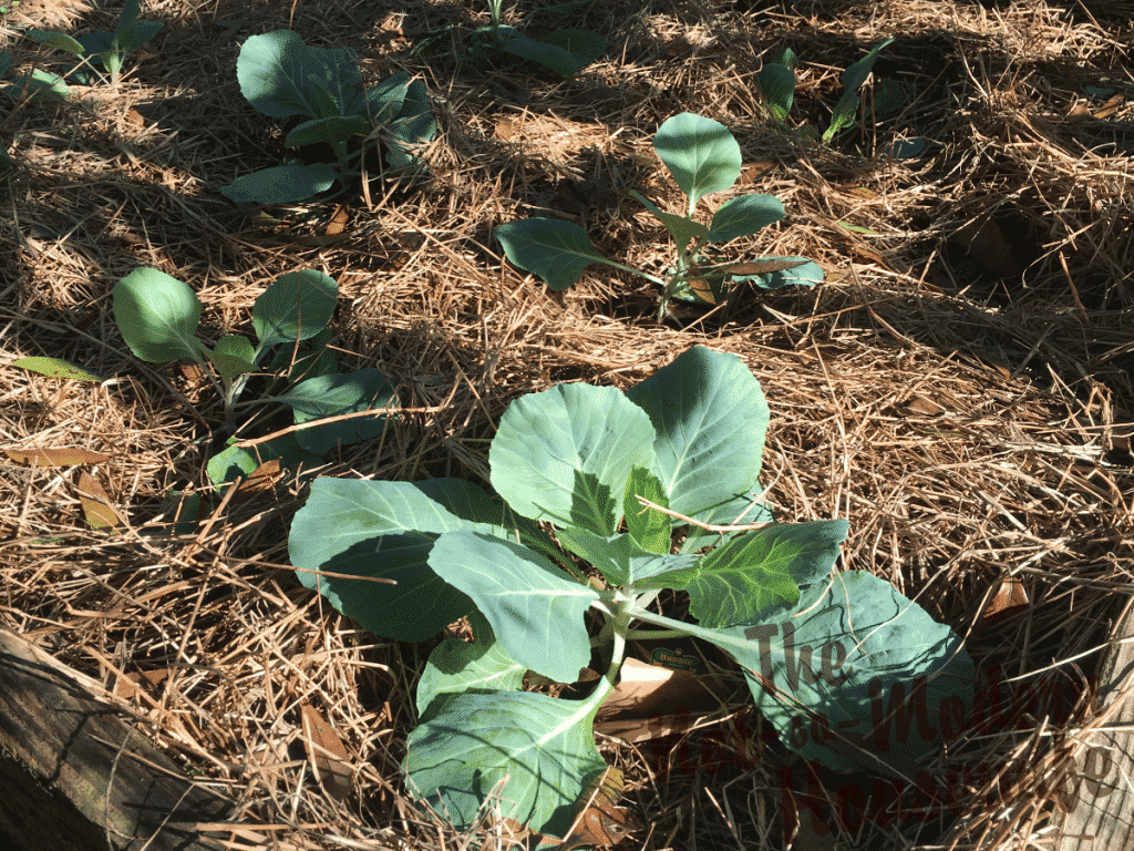 Planted cabbages