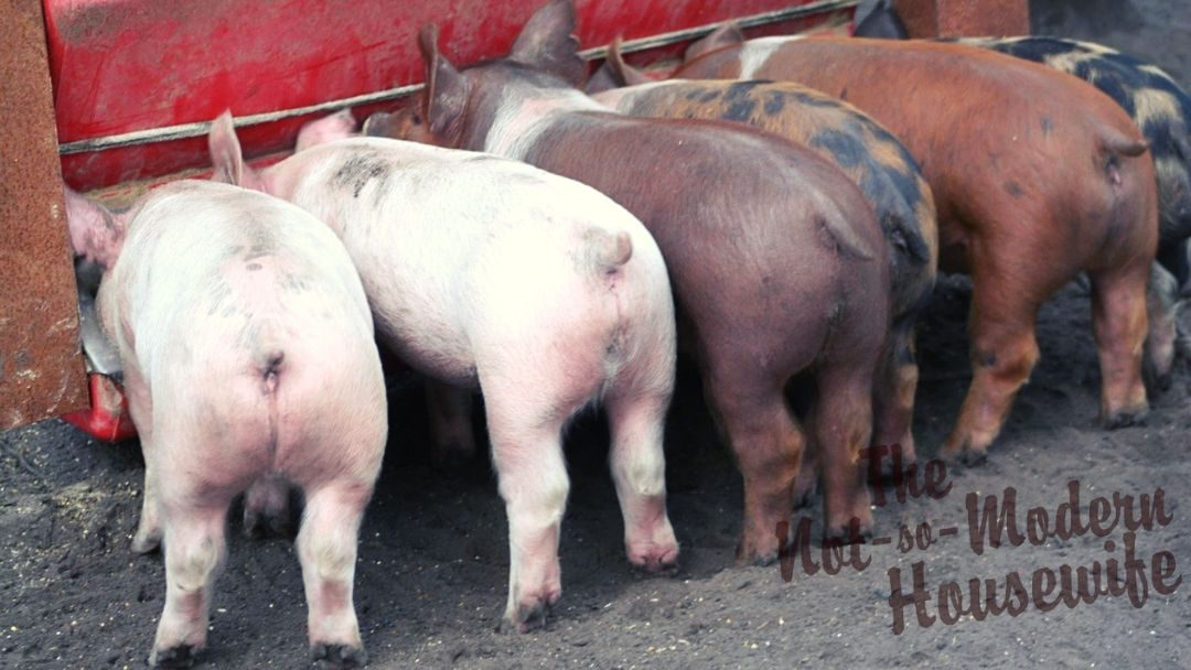 Meat piglets eating at a feed bin - Raising Pigs for Meat - Why Every Rural Homestead Should Have a Pig