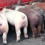 Raising Pigs for Meat - Why You Should Have a Pig