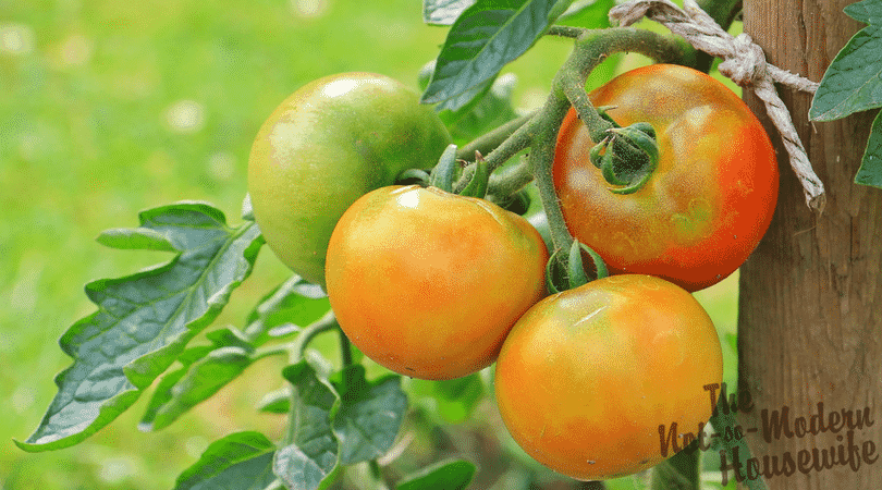 Beginner's Guide to Growing Tomatoes