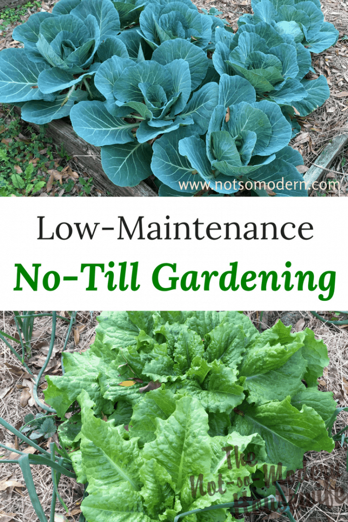 Cabbage and lettuce growing in garden - Low-Maintenance No-Till Gardening