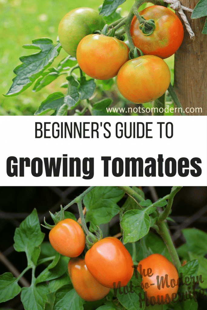 Growing tomatoes in your garden doesn't have to be difficult. Follow these beginner tips to enjoy a large and tasty harvest this year. #gardening #farmtotable #growsomethinggreen #eatwhatyougrow #growyourownfood