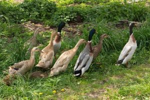 Best Duck Breeds for Eggs - Indian Runner