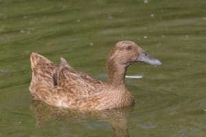 Best Duck Breeds for Eggs - Khaki Campbell