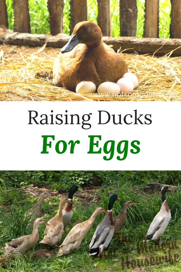 Ducks are often overlooked for their abilities to provide farm fresh eggs. Raising ducks for eggs can provide delicious eggs for eating and baking from a bird that tends to be more hardy than chickens. #fresheggs #raisingducks #ducks #poultry #backyardpoultry #homesteading