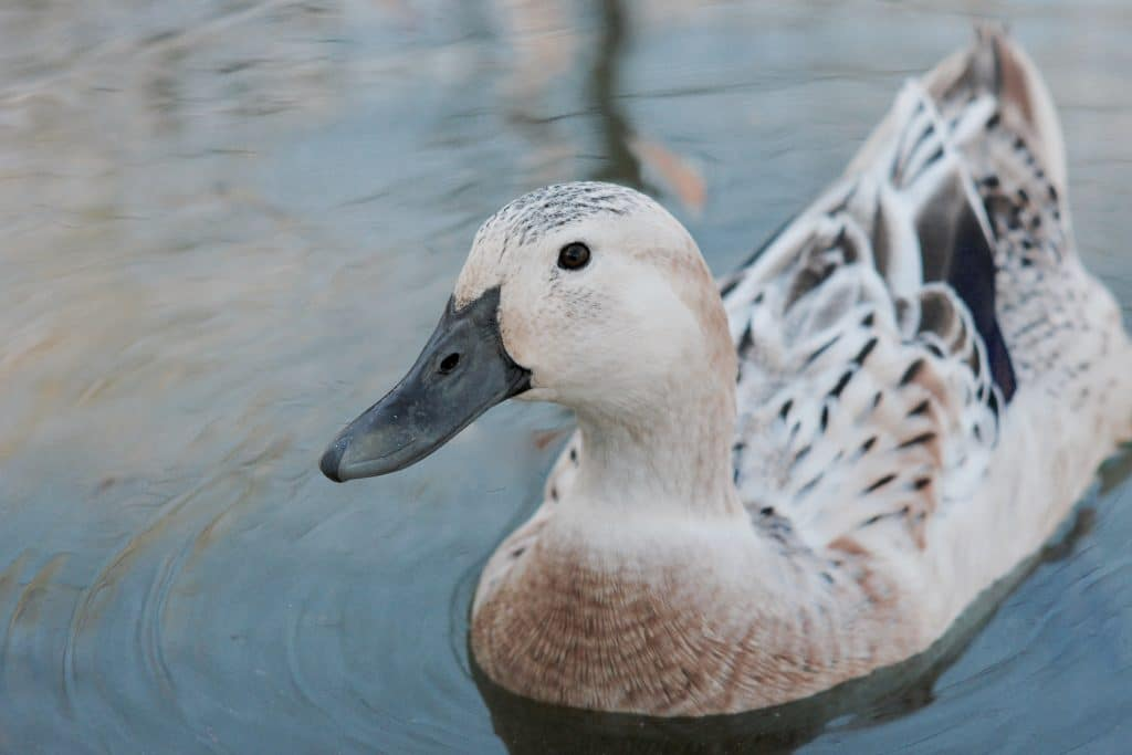 Best Duck Breeds for Eggs - Welsh Harlequin