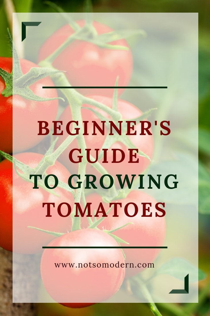Tomatoes on vine with overlay - Beginner's Guide to Growing Tomatoes