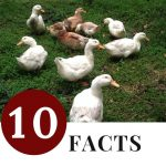 10 Facts You Didn't Know About Raising Ducks - small flock of backyard ducks