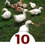 10 Facts You Didn't Know About Raising Ducks - small backyard flock of ducks