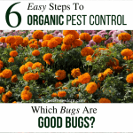 6 Easy Steps to Organic Pest Control - Know which bugs are good bugs - row covers, marigolds, and ladybugs