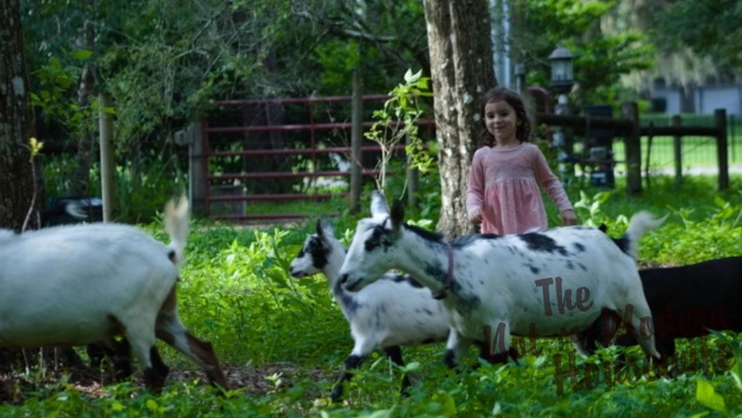 young girl with goats in pasture