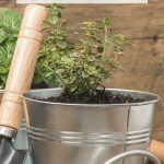 Grow Your Herbs Indoors - Small Thyme herb plant growing in a container garden