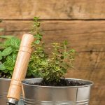 Indoor Herb Garden - small thyme herb plant growing in a container garden